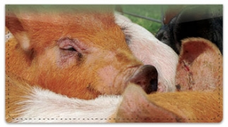 Click on Hog Heaven Checkbook Cover For More Details