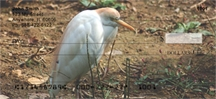 Click on Cattle Egret - Cattle Egrets Personal Checks For More Details