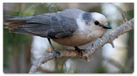 Click on Gray Jay Bird Checkbook Cover For More Details