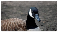 Click on Canada Geese Checkbook Cover For More Details