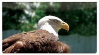 Click on Bald Eagle Checkbook Cover For More Details