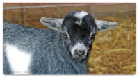 Click on Baby Goat Checkbook Cover For More Details